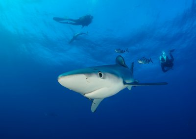 Dive with Blue Sharks and Mako Sharks in our Pelagic Trip, Cape Town with Pisces Divers